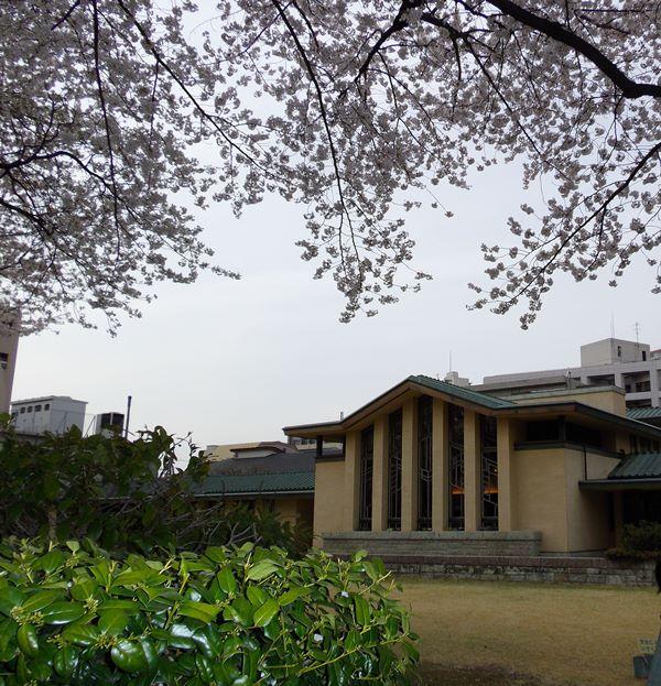 jiyu-sakura4