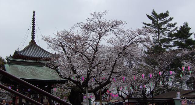 喜多院と桜