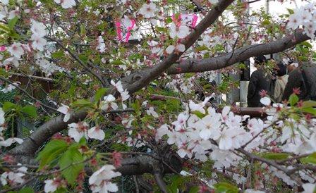 中目黒駅から桜