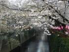 中目黒の昼間の桜