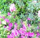 清正井(清正の井戸)と季節の花(藤、紫陽花、ツツジ)の備忘録