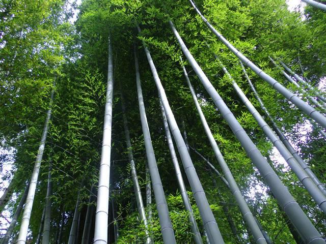 三渓園の竹