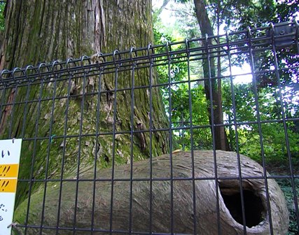 蛸杉、高尾山