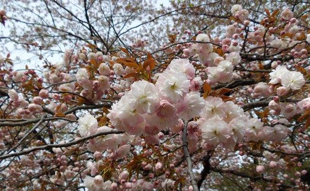 代々木公園、八重桜