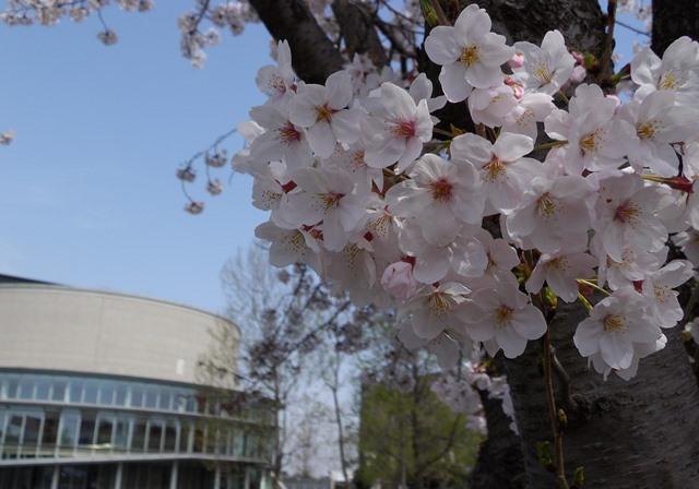 桜とホール