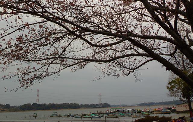 手賀沼公園と桜