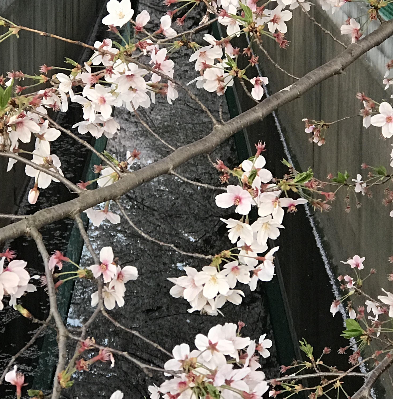 日本の桜花びら